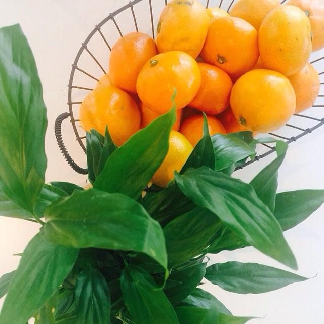 현서귤#귤#화분#mandarin#tangerine#plant