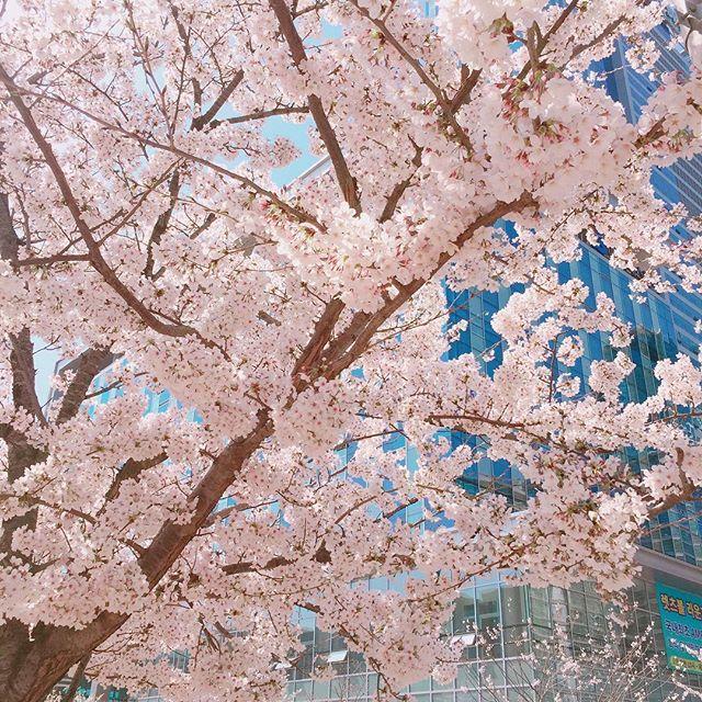 회사 앞에 봄이 왔네요🌸  #스튜디오제이티 #봄 #벚꽃