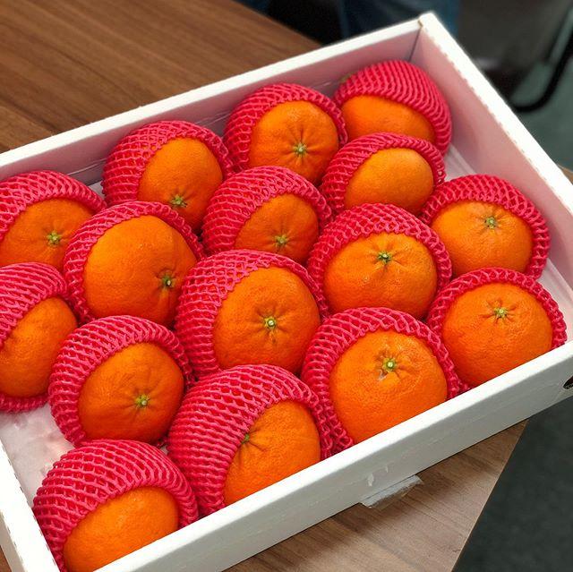 #한국인터넷전문가협회 에서 제이티에 제주 레드향을 선물로 보내주셨어요 🌼🍊 제 얼굴만한 귤이 왔네요 🤣 감사히 잘 먹겠습니다! . . #부산 #스튜디오제이티 #오늘은 #선물의날🎁 #뇸뇸